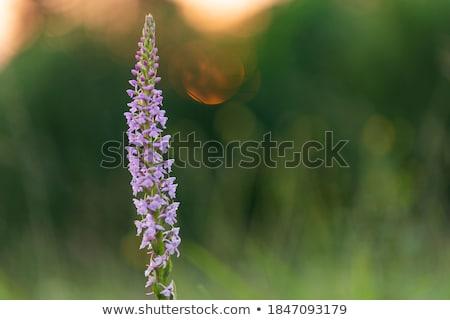 ароматный орхидеи природы желтый трава Сток-фото © rbiedermann