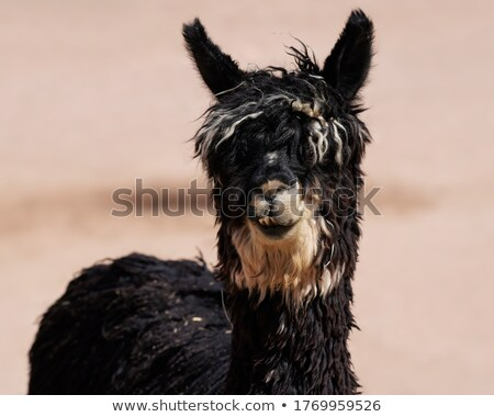 Domestic Llama Looking at Camera Farm Livestock Animals Alpaca Stock photo © cboswell