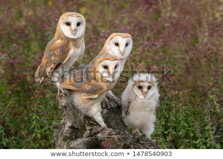 celeiro · coruja · parede · de · tijolos · pássaro · pena · retrato - foto stock © chris2766