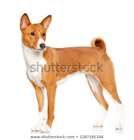 adorable basenji puppy stock photo © silense