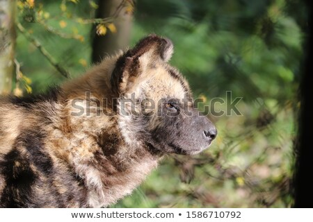Side profile of an African wild dog in the Kruger National Park, South Africa. Stock photo © simoneeman