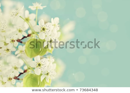 Stock photo: Spring Blossoming Pear Flowers on Blurred Blue Background