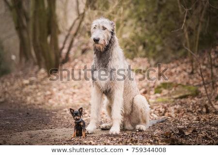 small Black dog Stock photo © Klinker