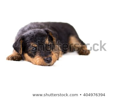 Beautiful Airdale Terrier in studio with dark background Stock photo © vauvau