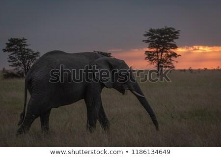 Sundown walk for the Bush Elephant Stock photo © markdescande