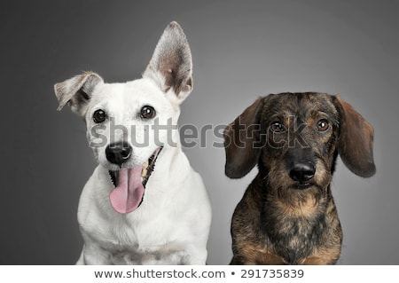 wired hair dachshund and a white dog portrait in dark studio stock photo © vauvau