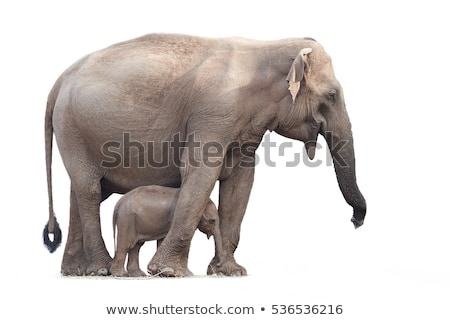 Young asian elephant (Elephas maximus) Stock photo © michaklootwijk