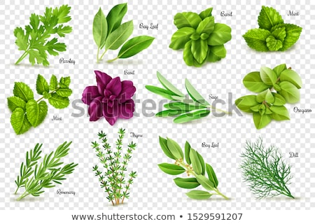 Spice plant salie geïsoleerd witte Stockfoto © Lana_M