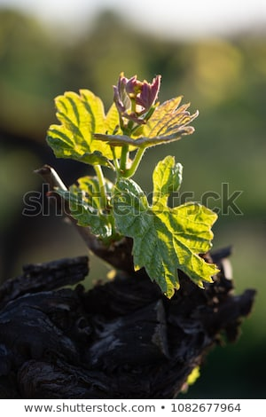 New bug and leaves sprouting at the beginning of spring on a trellised vine growing in bordeaux vine Stock photo © FreeProd