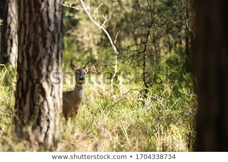 roe deers in the green field Stock photo © taviphoto