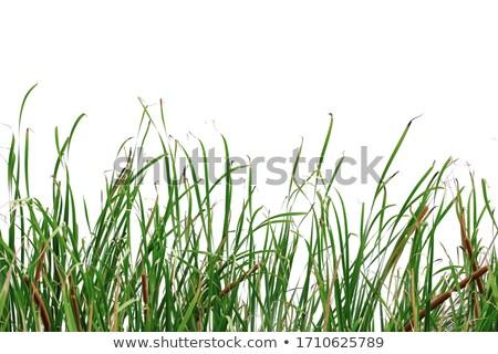 Tall reed plants Stock photo © njnightsky