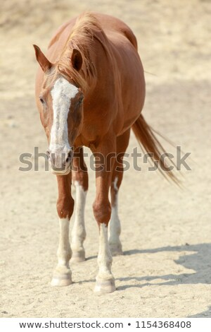 Chestnut horse with white face markings standing in Horse Hill Preserve on a summer day. Stock photo © yhelfman