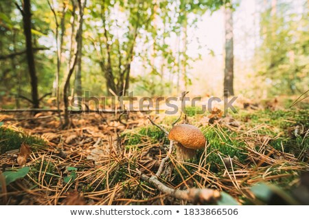 boletus grow in moss and needles Stock photo © romvo