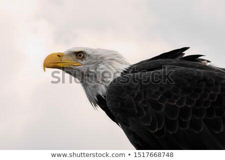 Kartal açık doğa kahverengi kuş tüy Stok fotoğraf © fotoduki