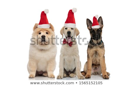 team of three cute christmas pets wearing santa hats stock photo © feedough