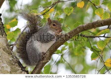 Cute серый белку еды гайка парка Сток-фото © taviphoto