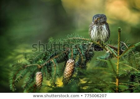 Coruja primavera cara pássaro cor Foto stock © taviphoto