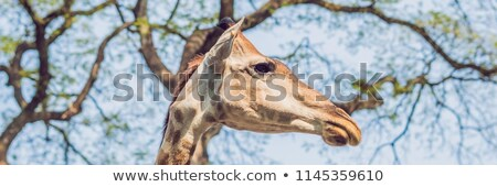 giraffe eating from a tree in a gorgeous landscape in africa banner long format stock photo © galitskaya