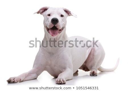 Studio shot of an adorable Dogo Argentino Stock photo © vauvau