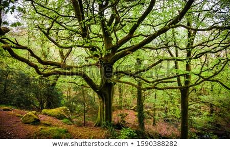 большой старые дерево мох рассказ лес Сток-фото © tilo