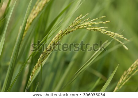 young paddy field with beautiful blue sky stock photo © rufous