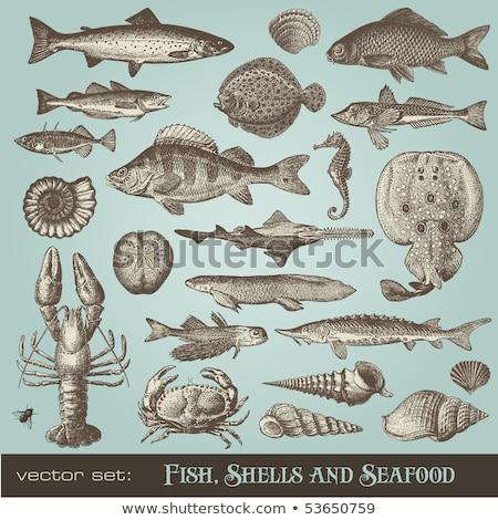 Carp fish antique illustration Stock photo © ElaK