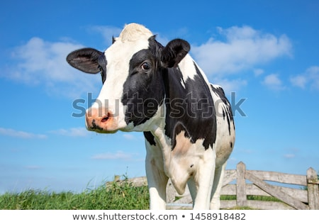 Cows Fenced In Stock photo © Komar