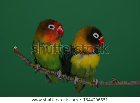 Pair of lovebirds agapornis-fischeri stock photo © alexandkz