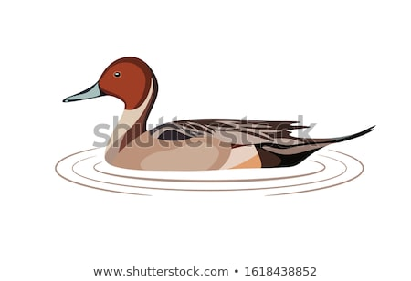 Wild duck in the water. Stock photo © Carpeira10