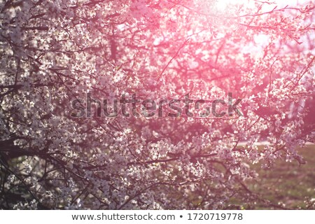 Stock photo: Beautiful tree blossoms against a green background.