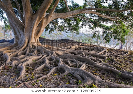 Stock photo: network of roots from big old tree