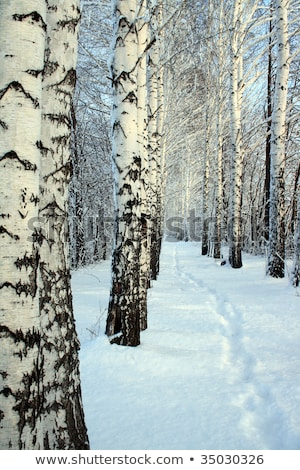 Stock photo: small path in winter birch wood