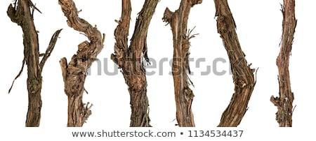 Velho uva videira secar belo Foto stock © Discovod