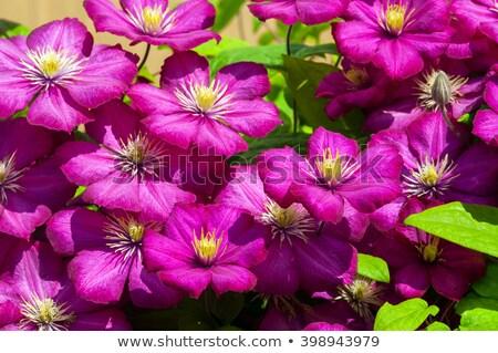 lila · virágok · természetes · textúra · természet · fény - stock fotó © catuncia
