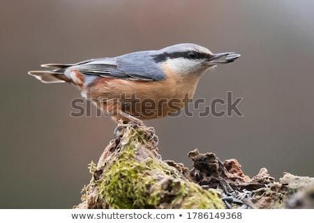 Sessão árvore pássaro inverno animal Foto stock © dirkr