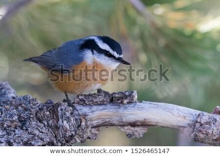 Pássaro natureza ao ar livre animais selvagens observação de aves Foto stock © brm1949