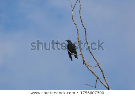 Acadian Crow Stock photo © ca2hill