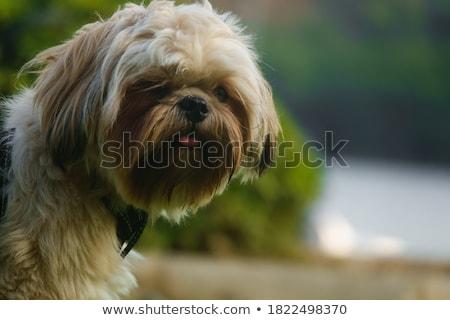 Küçük benim köpek beyaz sunmak negatif Stok fotoğraf © jonnysek