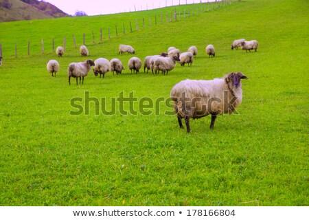 Ovelha prado Espanha comida grama natureza Foto stock © lunamarina