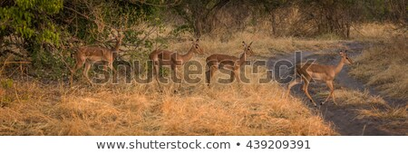 young impala stock photo © compuinfoto