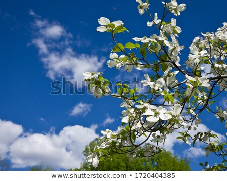 Branco florescimento árvore Flórida florescer blue sky Foto stock © shihina