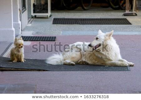 2 · 白 · 羊飼い · 犬 · 座って · 孤立した - ストックフォト © cynoclub