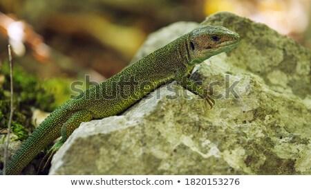 несовершеннолетний рок европейский зеленый ящерицы известняк Сток-фото © taviphoto