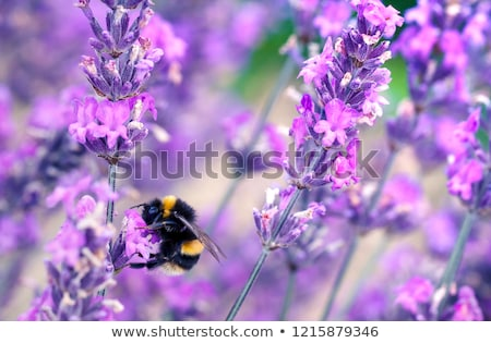 arı · nektar · çiçek · mor - stok fotoğraf © alinbrotea