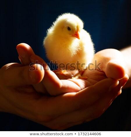 ふわっとした · ひよこ · 画像 · かわいい · 黄色 · 赤ちゃん - ストックフォト © pressmaster