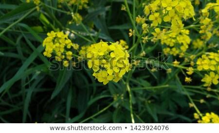 Yellow Winter Cress flowers Stock photo © Klinker