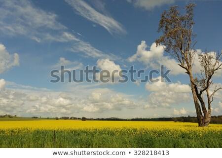 Golden canola flowering in springtime Stock photo © lovleah