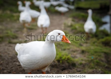 Domestic goose standing Stock photo © Klinker