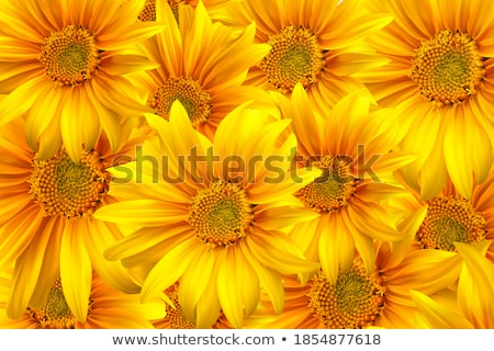 Sunflowers, realistic illustration. EPS 10 Stock photo © beholdereye