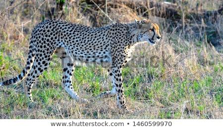 Yan profil çita park Güney Afrika Stok fotoğraf © simoneeman